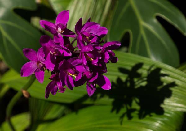 Photograph - Shadows Of Orchids by Georgia Mizuleva