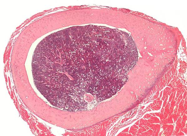 Histology Photograph - Shaft Of A Long Bone by Steve Gschmeissner
