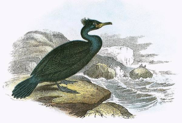 Ornithology Photograph - Shag by English School