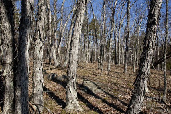 Photograph - Shagbark Hickory Forest - Nottingham New Hampshire by Erin Paul Donovan