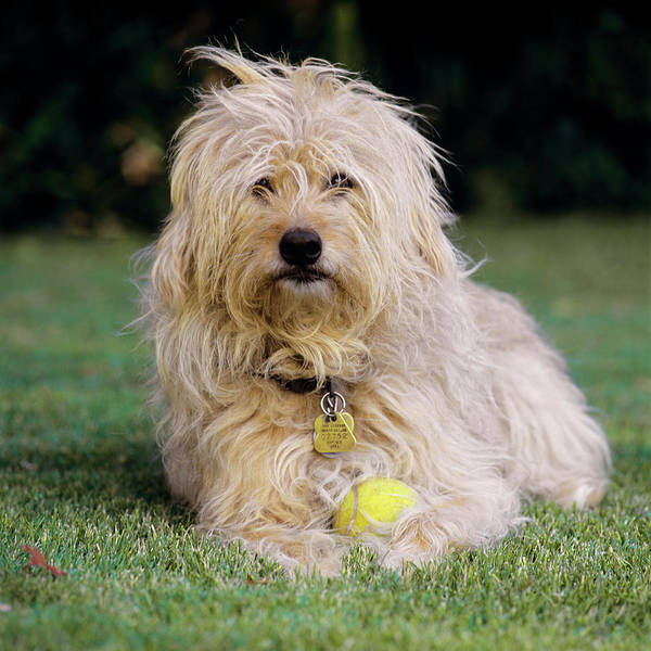 Dog Watch Photograph - Shaggy Brown Dog With Tennis Ball by Animal Images