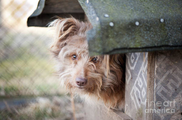 Dog Watch Photograph - Shaggy Dog Head Jut Out Of Kennel  by Arletta Cwalina
