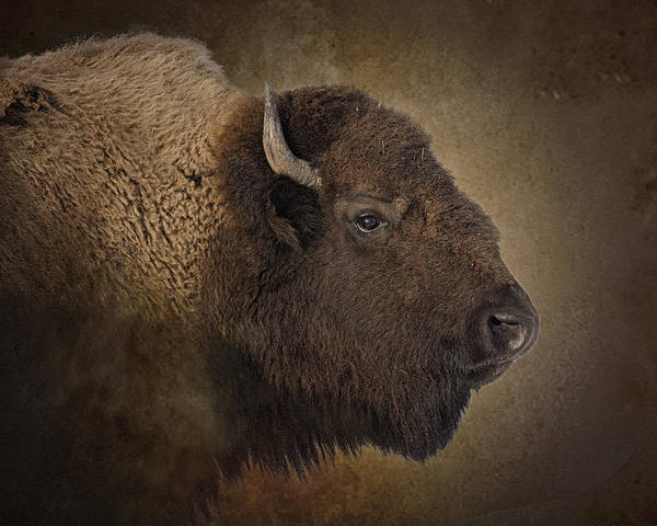 Bison Photograph - Shaggy One by Ron  McGinnis