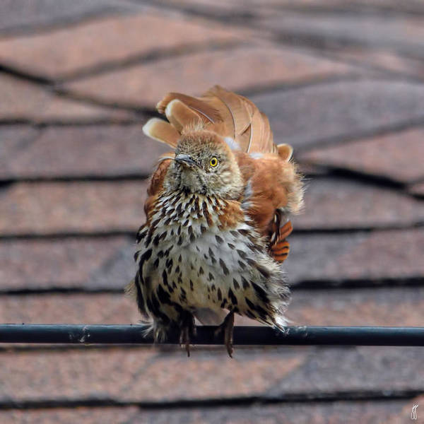 Photograph - Brown Thrasher - Shake A Tail Feather 06.02.2014 by Jai Johnson