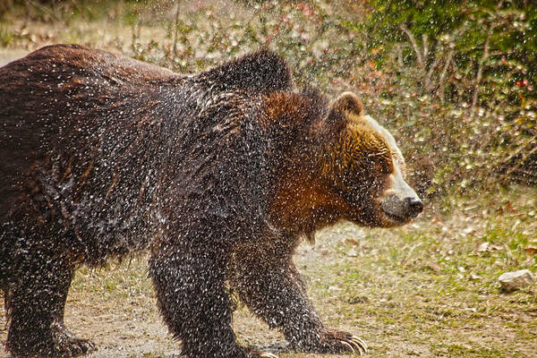 Grizzly Bears Photograph - Shaking It Off by Karol Livote