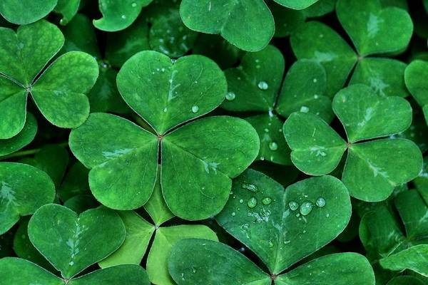 Photograph - Shamrock Green by Patricia Strand