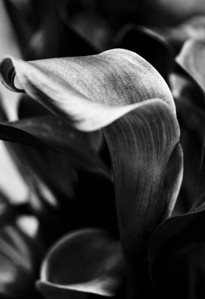 Calla Lilies Photograph - Shapely As A Lily by Christi Kraft
