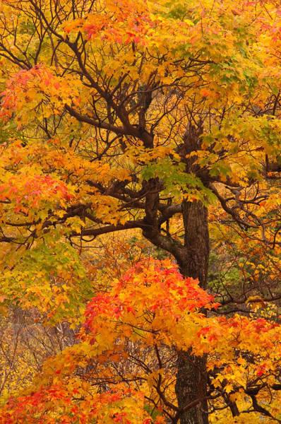 Shapely Maple Tree Art Print