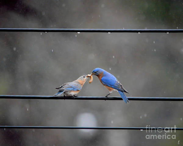 Photograph - Sharing A Meal - Bluebirds by Jai Johnson