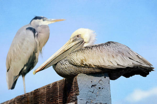 California Brown Pelican Photograph - Sharing Space by Fraida Gutovich