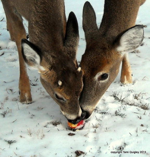 White Tailed Deer Photograph - Sharing The Love by Tami Quigley