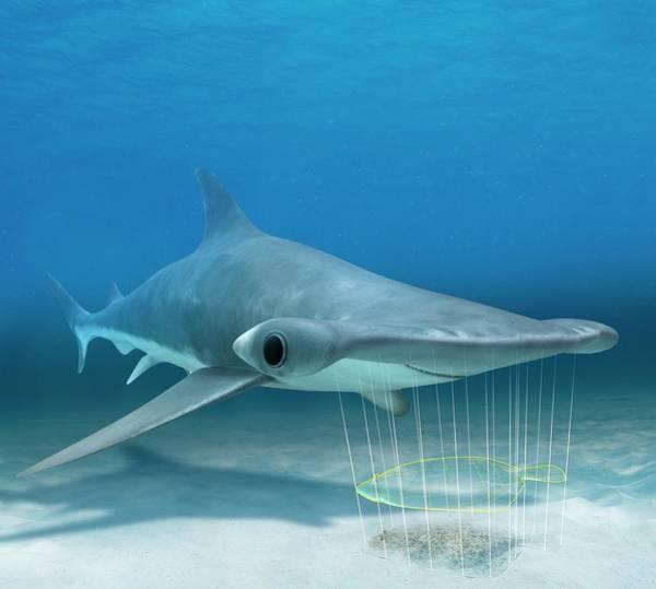 Hammerhead Photograph - Shark Electroreception by Claus Lunau