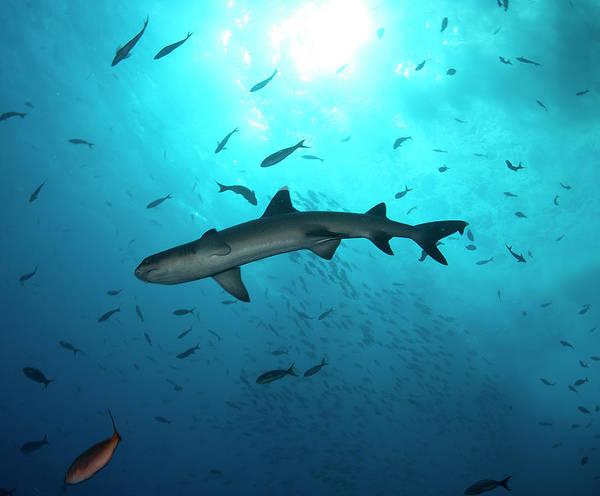 Roca Wall Art - Photograph - Shark From Revillagigedo Archipelago by Luis Javier Sandoval