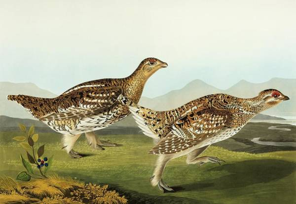 Wall Art - Photograph - Sharp-tailed Grouse by Natural History Museum, London/science Photo Library