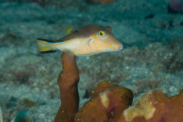 Balloonfish Photograph - Sharpnose Puffer Canthigaster Rostrata by Andrew J. Martinez