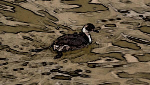 Photograph - Shawnee Lake Wild Duck 2 by G L Sarti