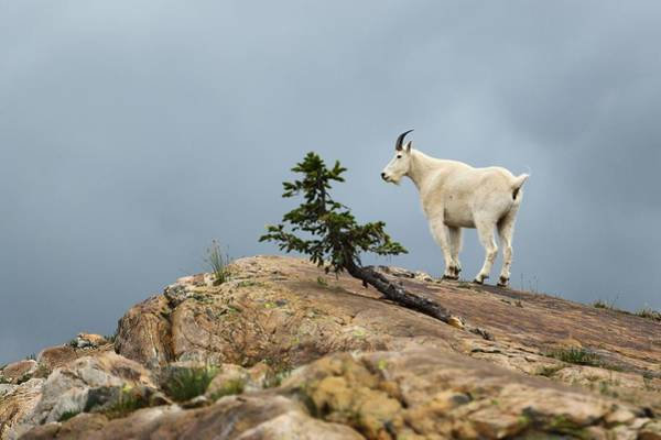 Photograph - She Goat by David Andersen