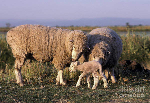 Photograph - Sheep And Lamb by Ron Sanford