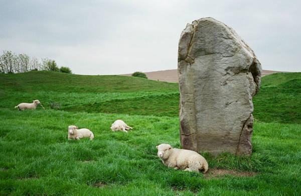 Sheep At Avebury Stones - Original Art Print