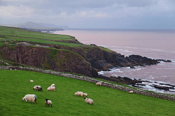 Wall Art - Photograph - Sheep At Parkmore Point Near Dingle by Carl Bruemmer