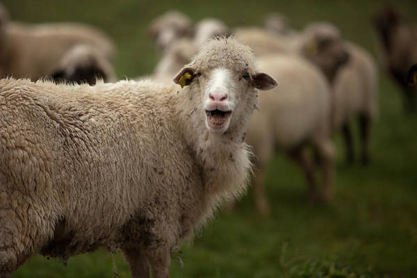 Ovine Photograph - Sheep Bleat In A Meadow In Villaluenga by Chico Sanchez