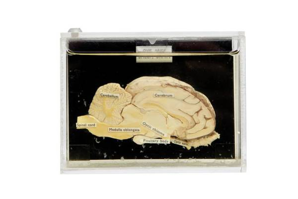 Cerebrum Photograph - Sheep Brain by Gregory Davies