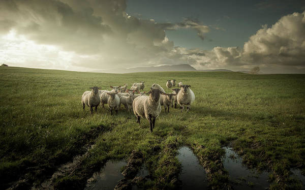 Wall Art - Photograph - Sheep by David Ahern