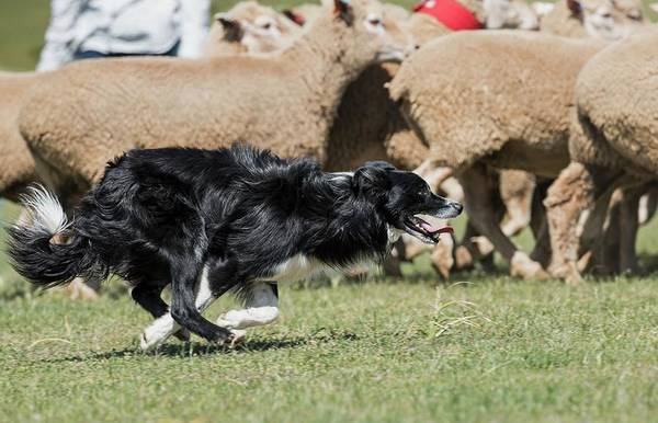 Wall Art - Photograph - Sheep Dog Herding Sheep by Tony Camacho/science Photo Library