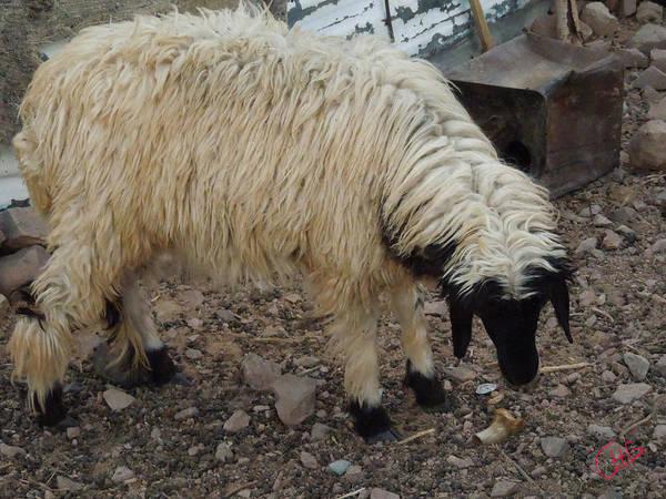 Photograph - Sheep Farm Sinai Desert Egypt by Colette V Hera  Guggenheim