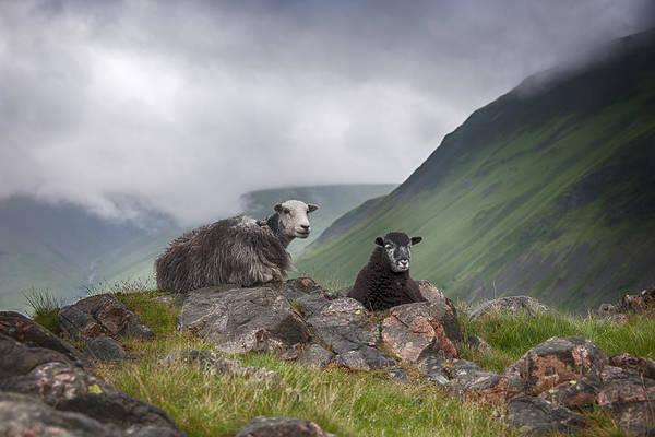 Photograph - Sheep by Gouzel -