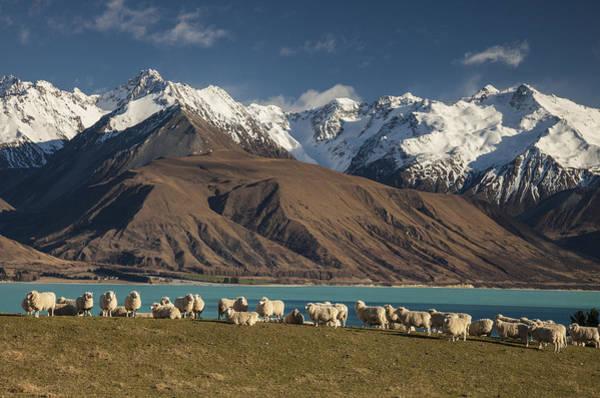 Ohau Wall Art - Photograph - Sheep Grazing At Lake Pukaki And The by Colin Monteath