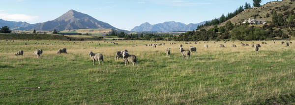 Wall Art - Photograph - Sheep Grazing In Field, Riverrun Lodge by Panoramic Images