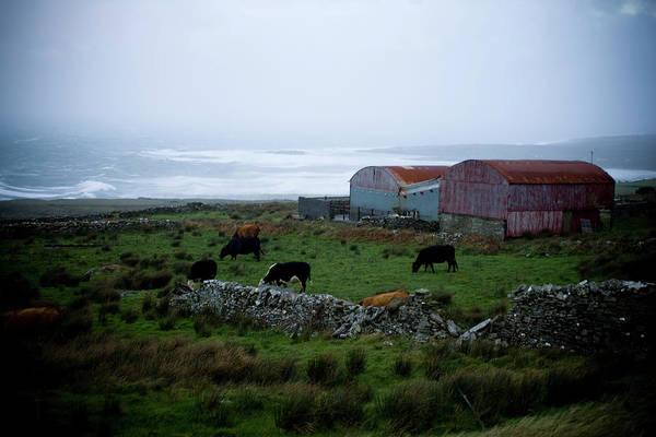 Sea Cow Photograph - Sheep Grazing In Ireland by Nick LaVecchia