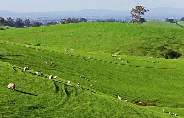 Grazing Photograph - Sheep Grazing In The Strzelecki Ranges by Australian Scenics
