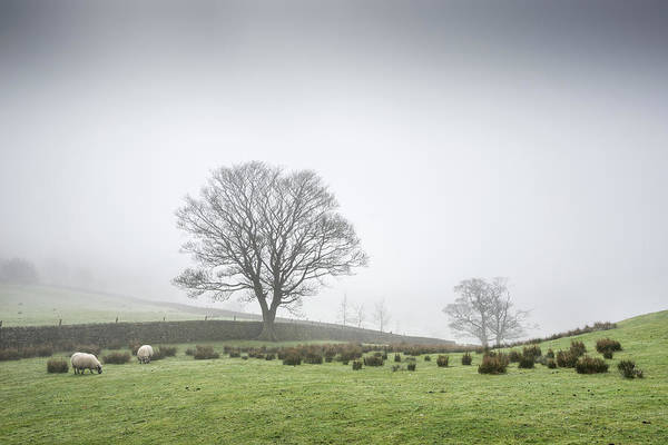 Grazing Photograph - Sheep Grazing On A Misty Morning by Photos By R A Kearton