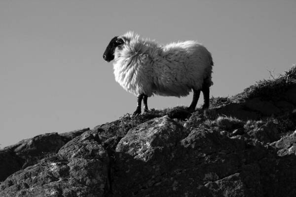Photograph - Sheep In Mountain Landscape by Aidan Moran