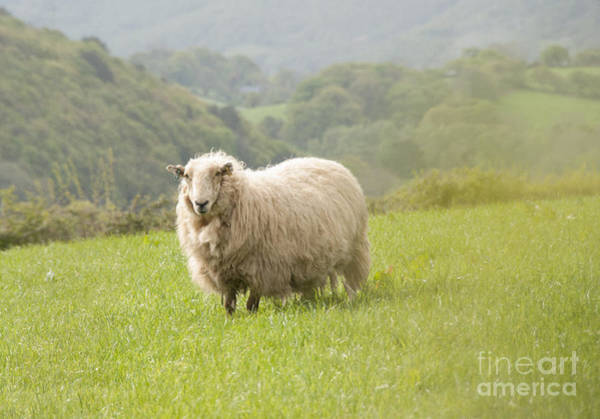 Photograph - Sheep In Pasture by Juli Scalzi
