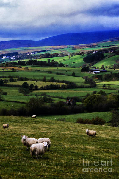 Gaelic Photograph - Sheep In Pasture by Thomas R Fletcher