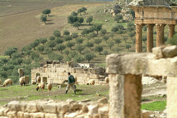 Berber Wall Art - Photograph - Sheep In Roman Ruins At Dougga by Marco Ansaloni / Science Photo Library