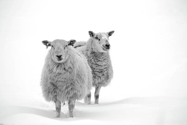 Photograph - Sheep In Snow by By Simon Gakhar