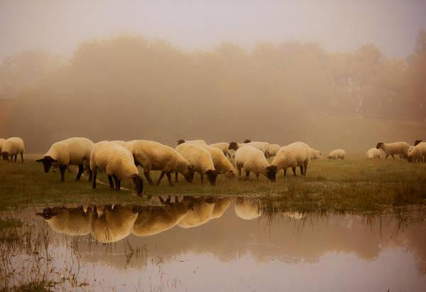 Farm Animals Photograph - Sheep In The Fog by Ian Hufton