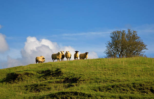 Ewe Photograph - Sheep Near Athenry,county Galway by Panoramic Images