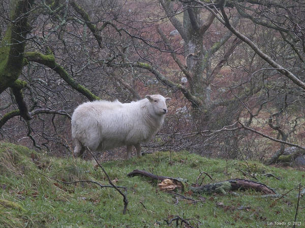 Aber Painting - Sheep Observing In Aber Falls Wales by Linda Leeming