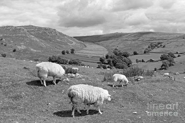 Photograph - Sheep On The Yorkshire Dales by Julia Gavin