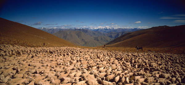 Ewe Photograph - Sheep Otago New Zealand by Panoramic Images