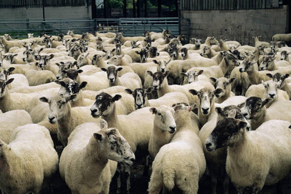 Ovine Photograph - Sheep by Robert Brook/science Photo Library
