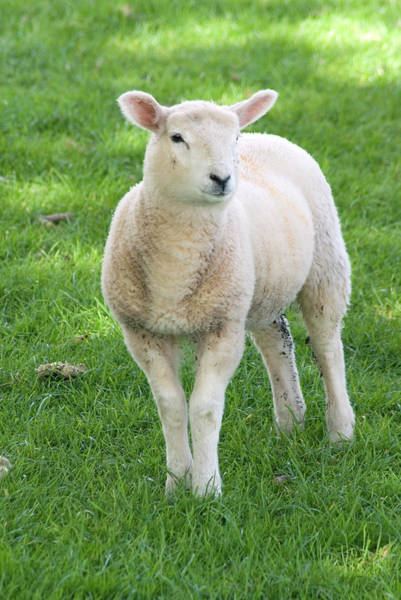 Exmoor Photograph - Sheep by Steve Horrell/science Photo Library