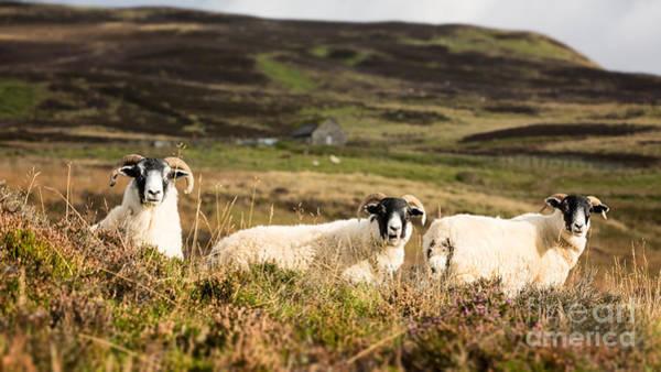 Ewe Photograph - Sheep Trio by Jane Rix