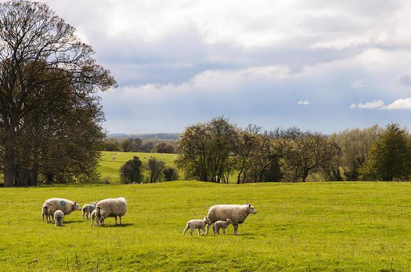 Sheep With Lambs Art Print