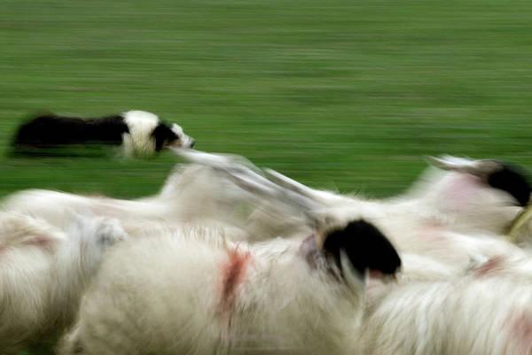 Ruminant Photograph - Sheepdog Herding Sheep by Simon Fraser/science Photo Library